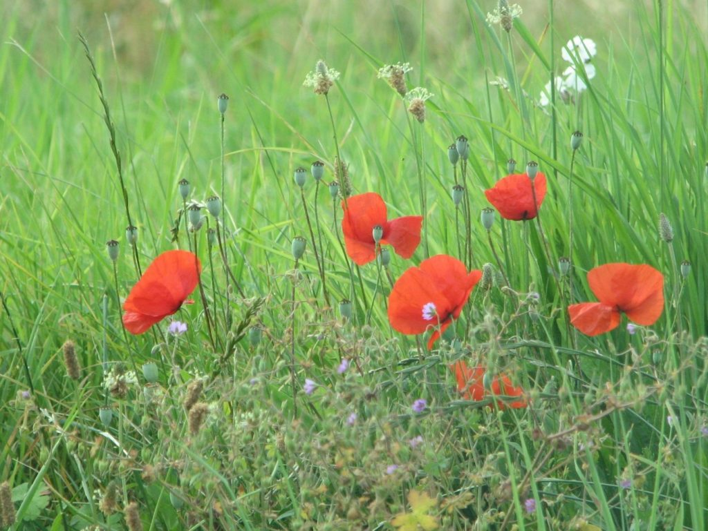 Red Poppies in a Field in France